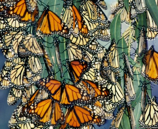 Monarch butterflies overwintering in California