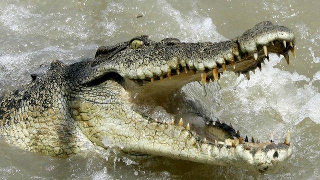 File picture of a saltwater crocodile in Australia