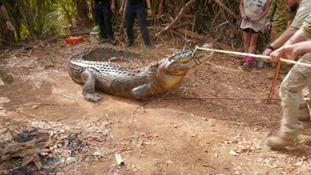 A crocodile being wrangled by NT Police, Australia.