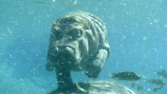 Baby hippo swimming at San Diego Zoo