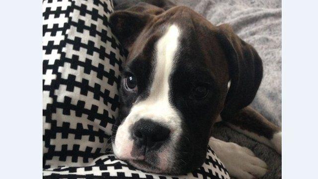 Stanley, boxer puppy
