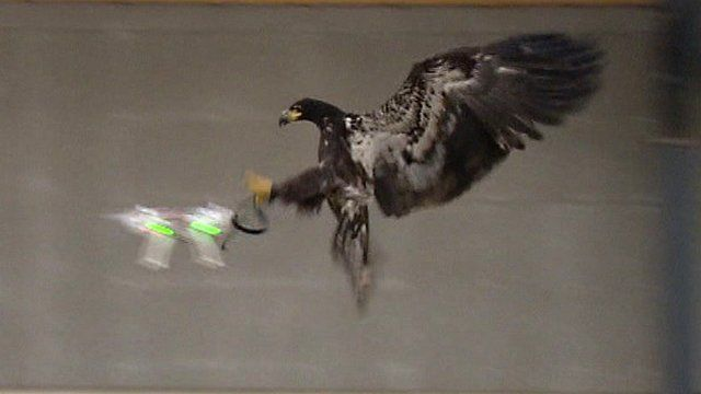 Dutch police are training eagles to grab illegal drones out of the sky.