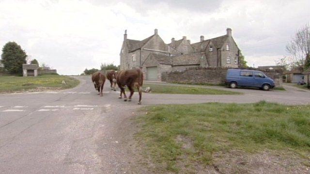 Rodborough and Minchinhampton cows