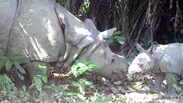 Javan Rhino (Rhinoceros sondaicus) and a newly found calf in Ujung Kulon national park