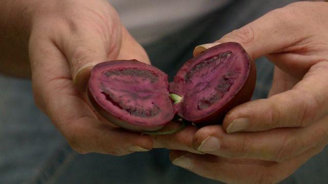 Genetically-modified tomato