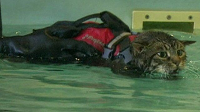 Buddy the cat in a hydrotherapy pool
