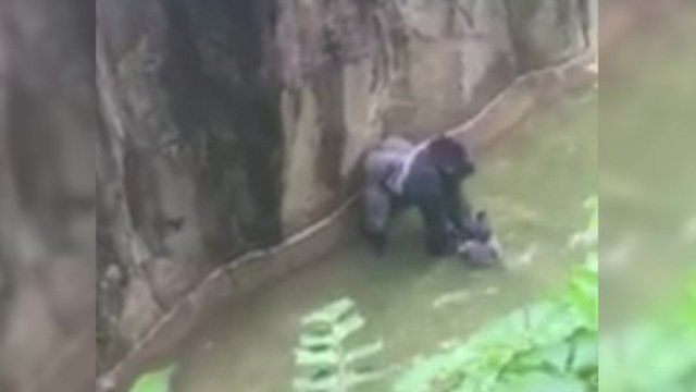 Gorilla at Cincinnati Zoo