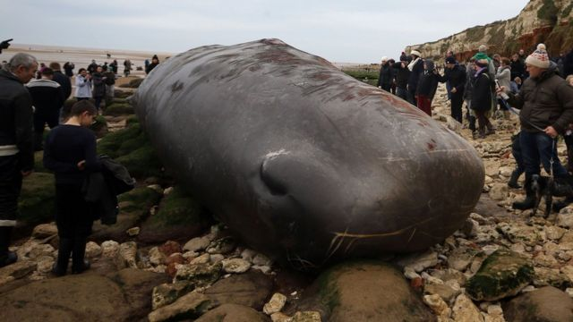 A dead 50ft (14.5m) young adult male sperm whale beached in Norfolk. Sunday January 24, 2016