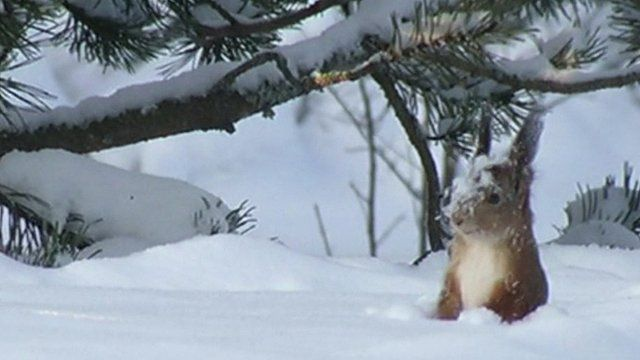A squirrel forages in the snow