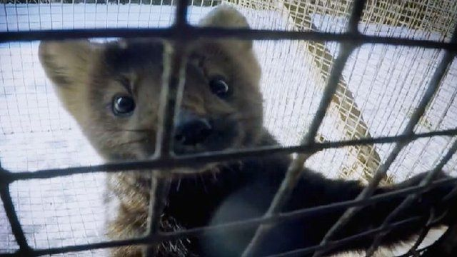 A caged sable on a Russian fur farm