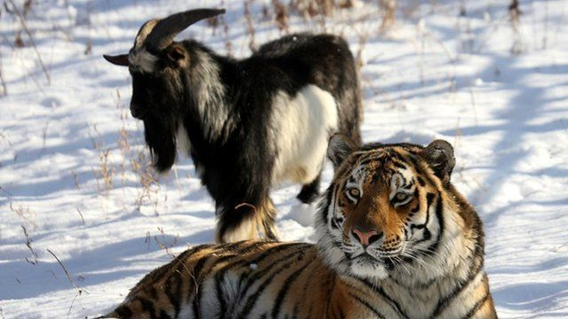 Timur the goat and Amur the tiger