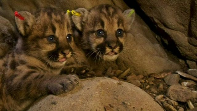 Lion cubs born in Los Angeles