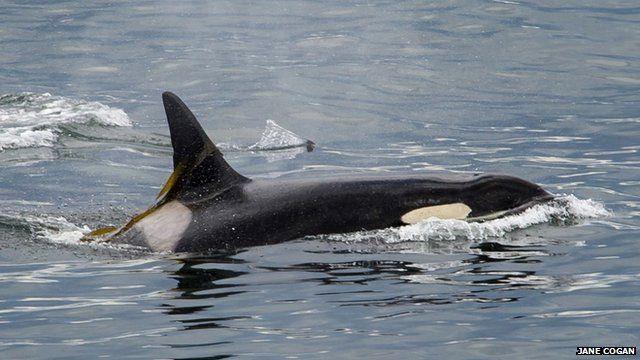 Killer whale in the Salish Sea (c) Jane Cogan