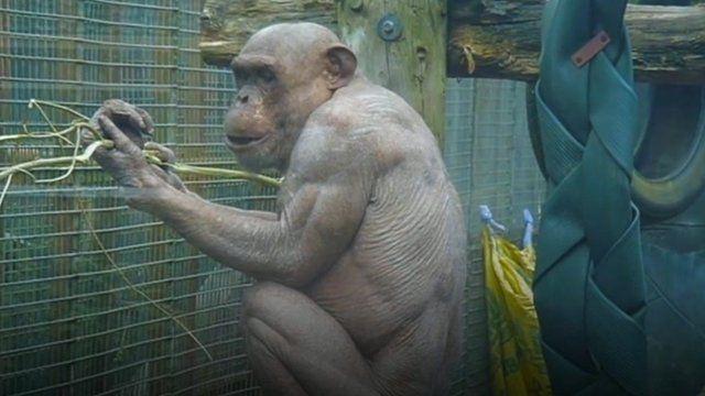 Mongo the chimp