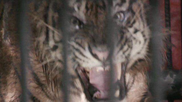 Sumatran tiger in a cage