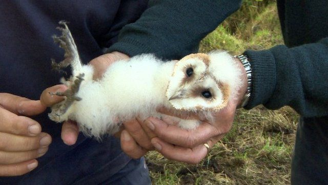 Barn owl on Michael Calvert's farm near Greyabbey