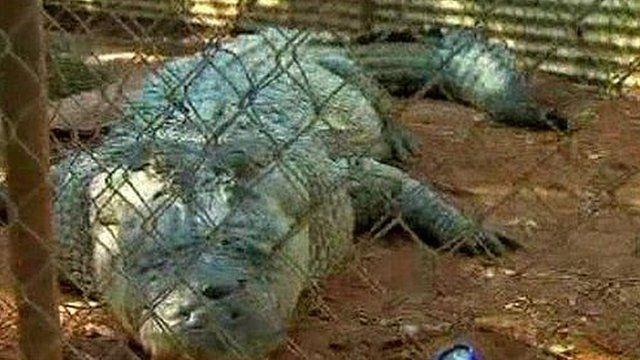 Fatso the crocodile