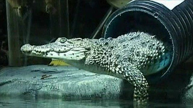 A Cuban crocodile emerges from a transportation tube