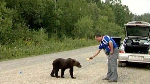 Driver feeding bear