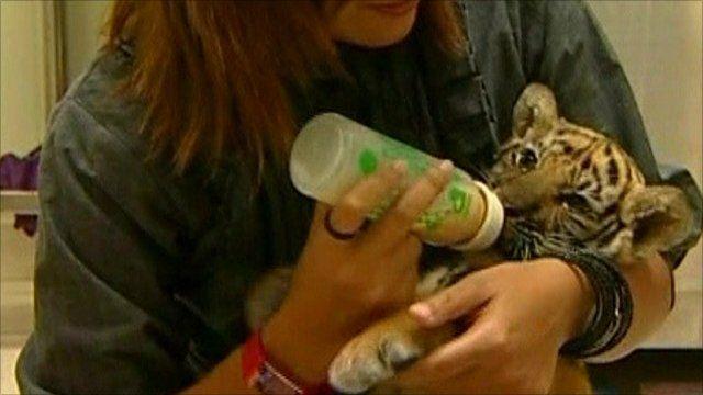 Tiger cub is fed