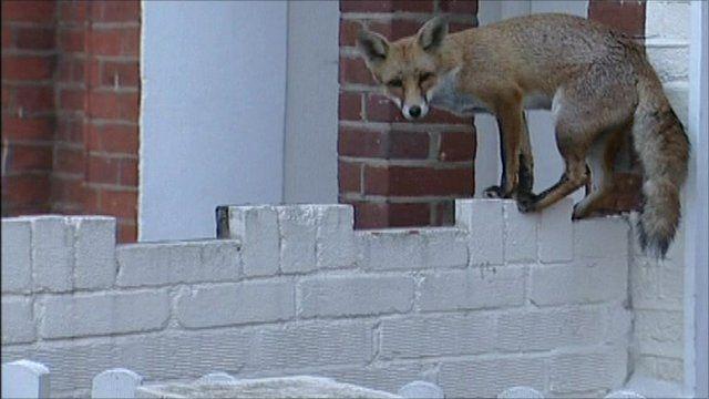 A fox on a wall
