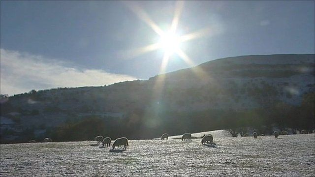 Sheep grazing in a snowy field