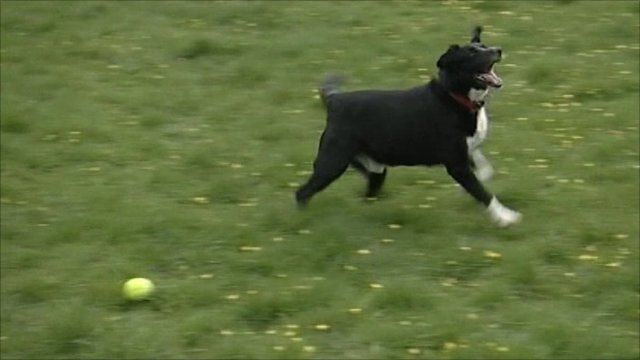 A fostered dog playing with a ball