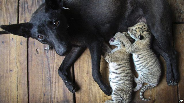 Liger cubs with the dog