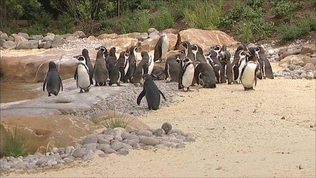 Penguins at London Zoo's new enclosure
