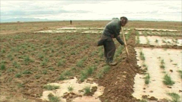 Afghan saffron farmer in Herat