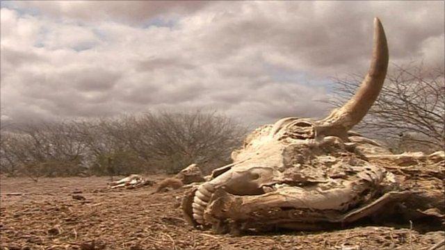 Skull of a cow in Somalia