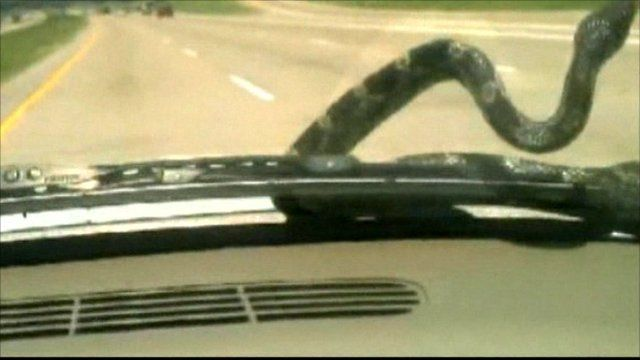 Snake on car bonnet: picture courtesy YouTube.com/Rachel and Tony Fisher