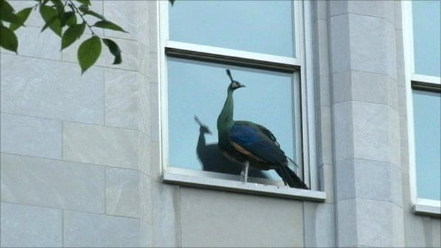 Peacock on window sill in New York