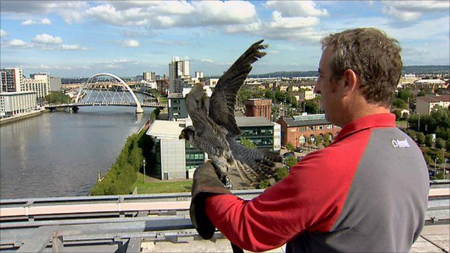 A peregrine falcon is released from the BBC Scotland rooftop