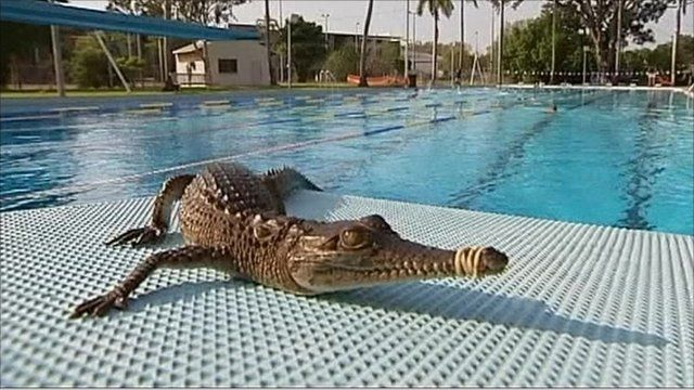 Crocodile takes dip in swimming pool bbc news for Can babies swim in saltwater pools