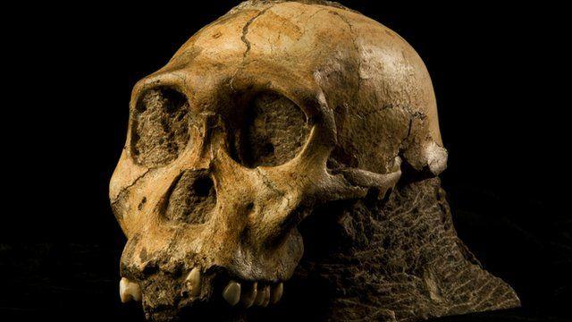 Australopithecus sediba skull (B Eloff/ University of Witwatersrand)