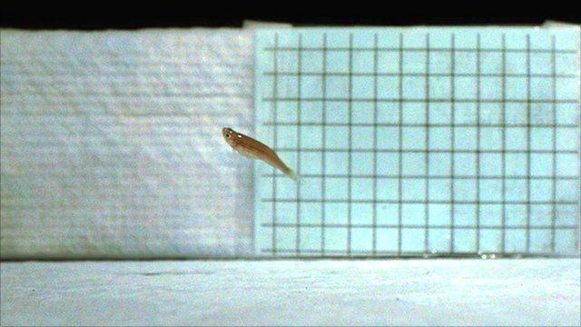 Leaping zebrafish (Image: Anne Gibb)