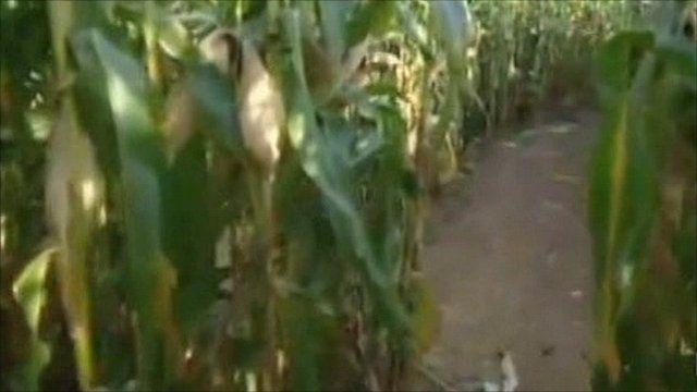 Connors Farm maze