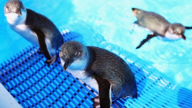 Penguins swim in a clean pool after being cleaned of oil in New Zealand