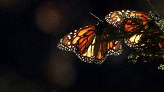 A monarch butterfly in Mexico