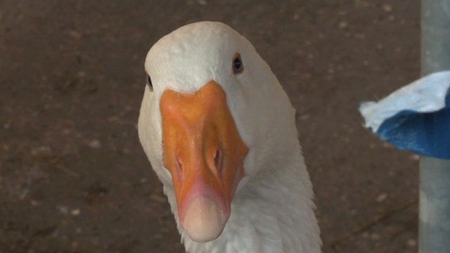 A goose at Kentish Town Farm
