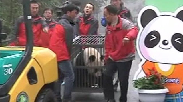 Panda Tian Tian being carried in cage