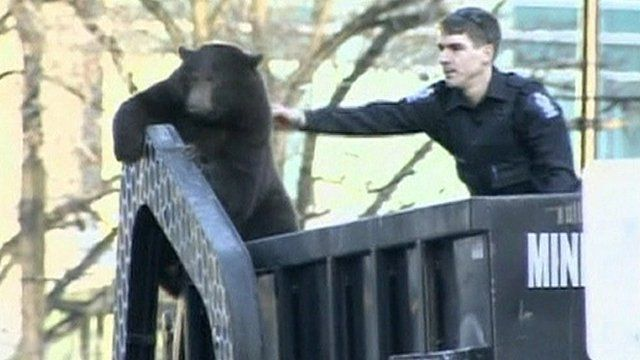 Bear that hitched a ride on a rubbish truck in Canada