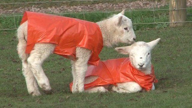 Newborn lambs in jackets