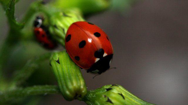 seven-spot ladybird on a plant