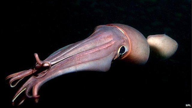 Humboldt squid