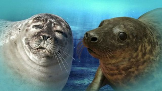 A harbour seal and a grey seal