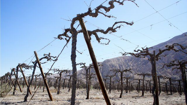 Withered vineyards, Chile