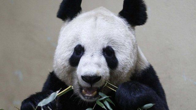 Female giant panda Tian Tian