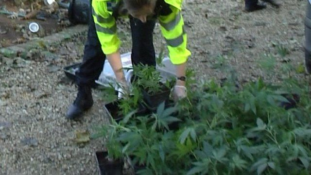 Cannabis plants being removed from a property